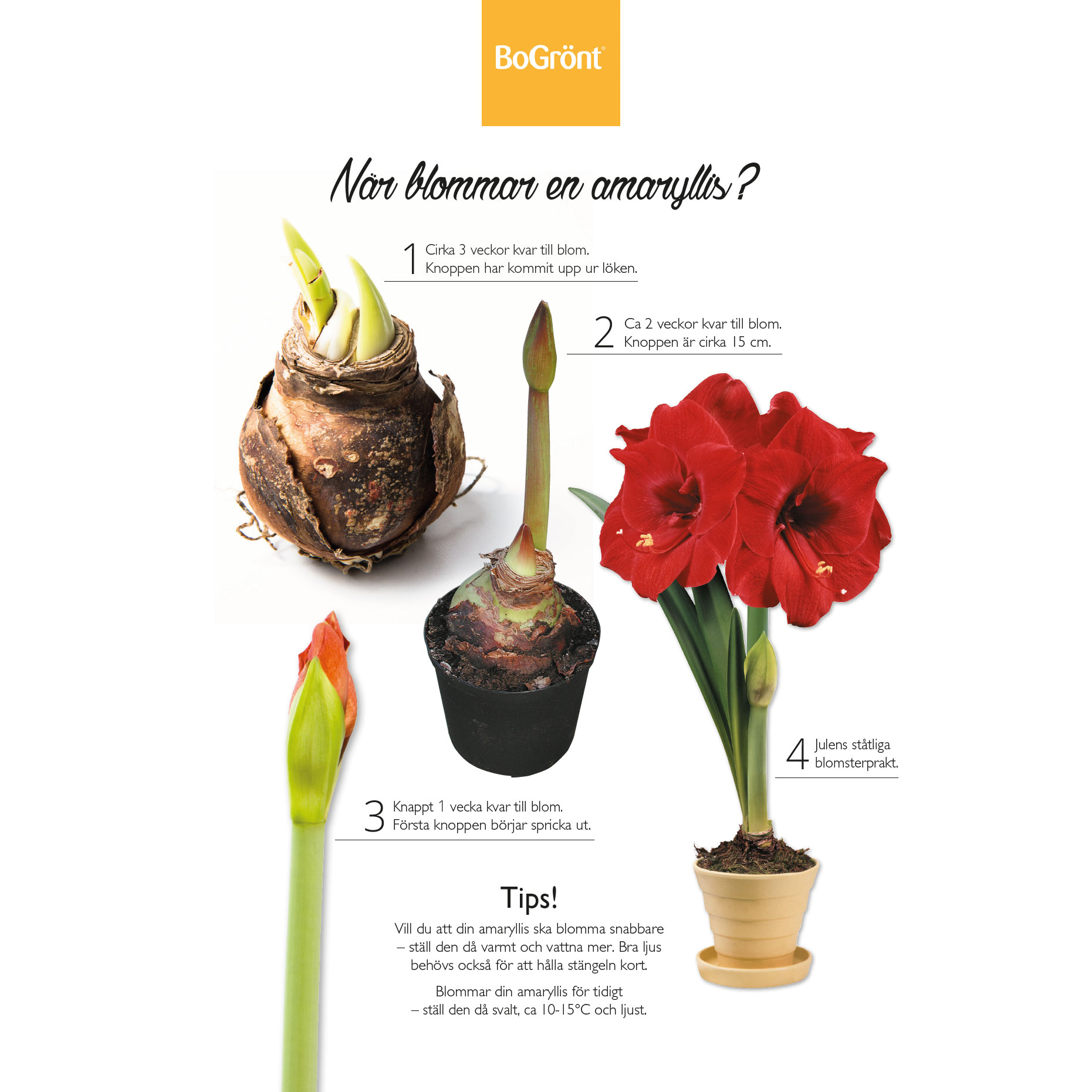 Tips amaryllis