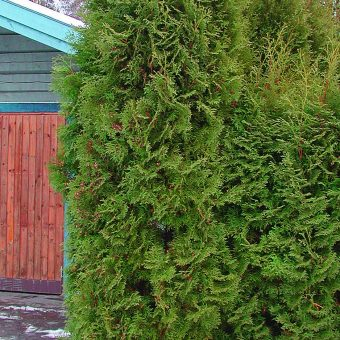 Tuja - Thuja occidentalis 'Brabant'