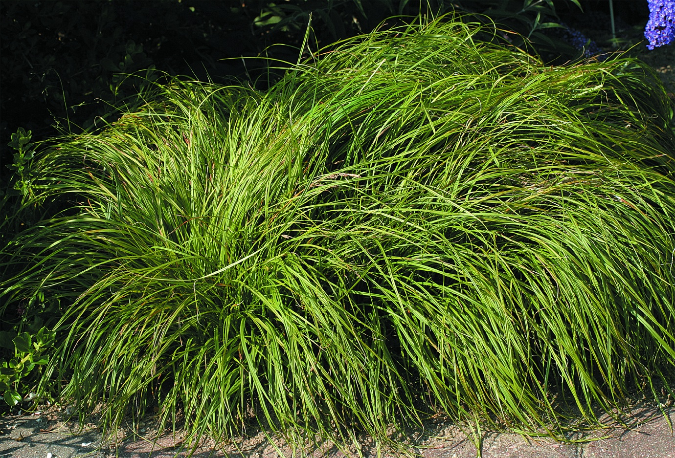 Skuggstarr Carex caryophyllea 'The Beatles'
